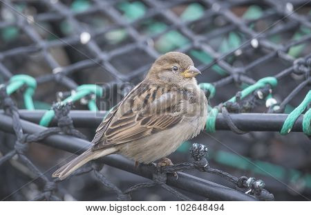 Sparrow perched on creel at the harbour