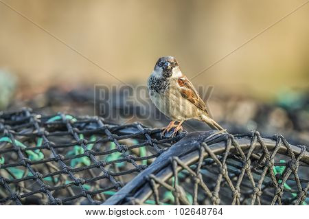Sparrow, Passer domesticus, perched on creel at the harbour