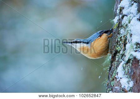 Eurasian Nuthatch, Sitta Europaea