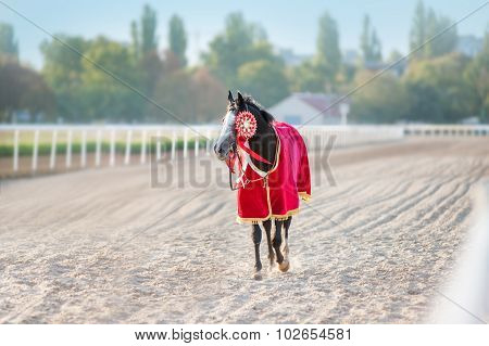 Sport Thoroughbred horse winner walks on a treadmill at the racetrack.