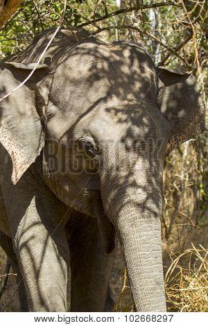 Sri Lankan Elephant