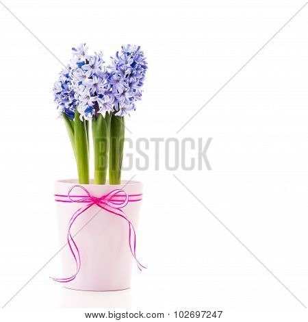 Blue Hyacinth With A Ribbon.
