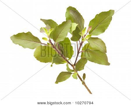Holy Basil / Tulasi sprig isolated with clipping path poster