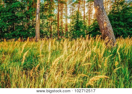 Sunlight Sunset In Green Coniferous Forest in Autumn