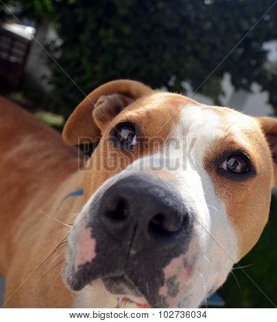 senior amstaff dog  outddor portrait, pet theme