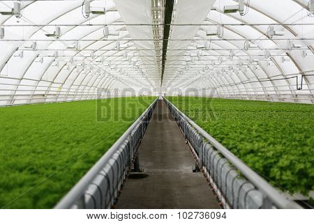 Young Plants Growing In A Very Large Plant Commercial Greenhouse