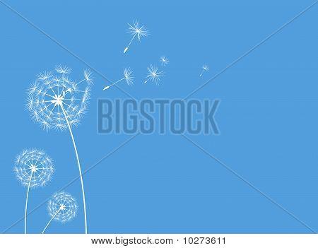 dandelions background