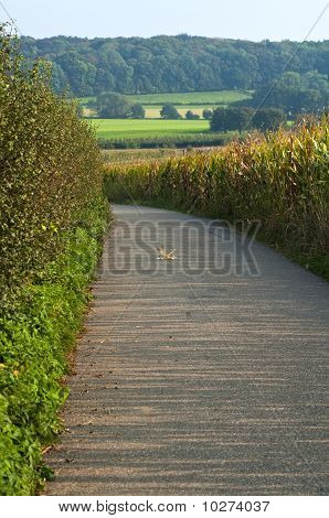 Path Through Corn Field