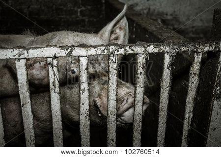 Dirty Pig On A Farm