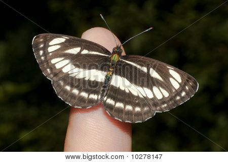 common glider ( Neptis sappho ) on a leaf poster