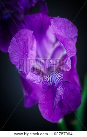 Iris Beautiful Flower