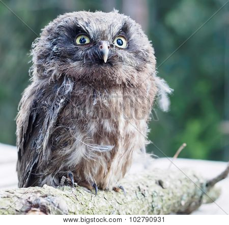 Young Boreal Owl On A Tree Branch.
