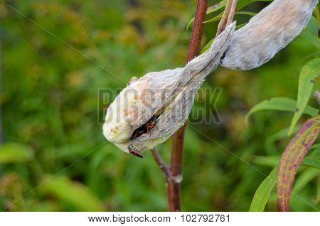 orange black bugs hiding in milkweed plant