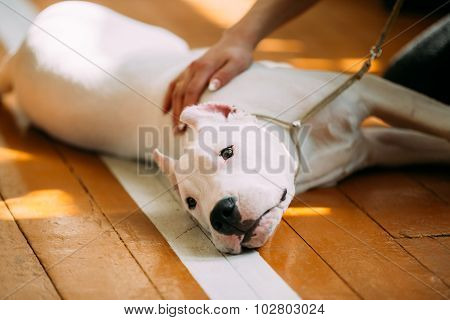 Close Up Young White Dogo Argentino Dog laying On Wooden Floor