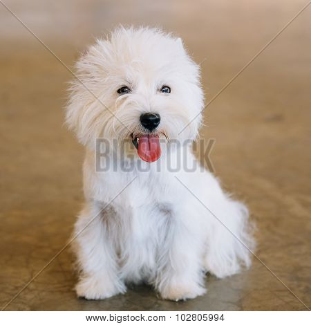 Smiling Small White West Highland White Terrier Westie, Westy