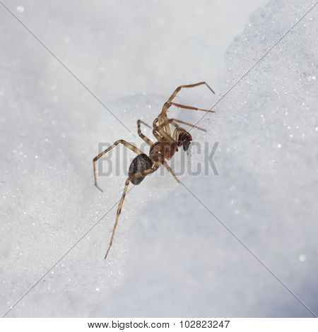 Spider in the snow