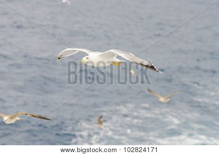 European Gull In Flight Above Sea