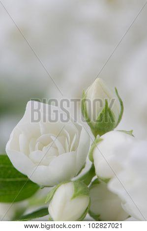 Elegant White Jasmine Flowers