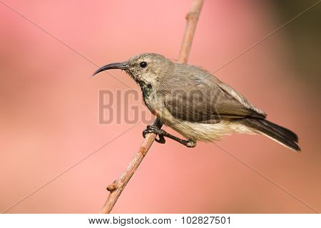 Juvenile Male Miombo Double-collared Sunbird (cinnyris Manoensis) Hanging On To A Branch
