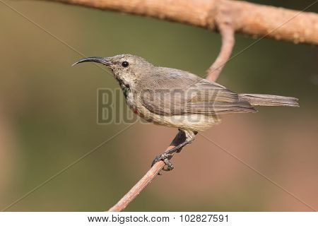 Juvenile Male Miombo Double-collared Sunbird (cinnyris Manoensis) Perched On A Branch