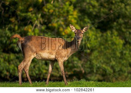 Female Red Deer close-up
