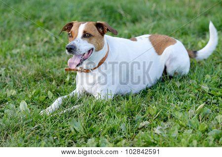 Danish Swedish Farmdog