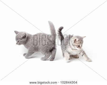 Two british kittens playing. On white background