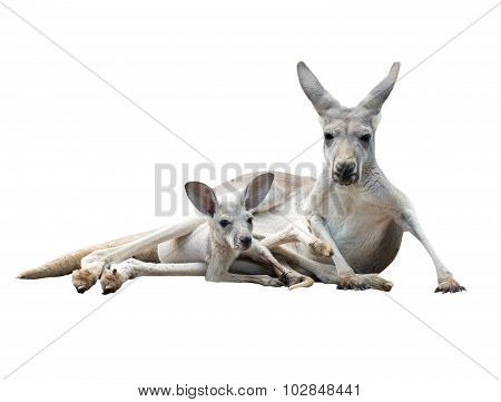 female gray kangaroo with joey in pouch isolated poster