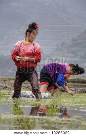 Asian Women Peasant Busy With Early-rice  Transplanted Seedlings In China.