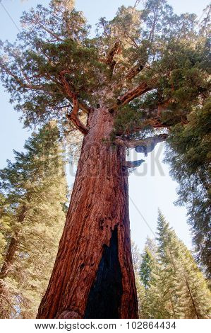 Giant Sequoia In Yosemite