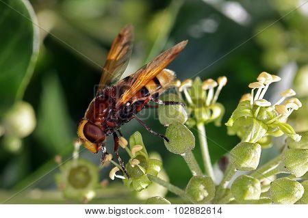 Wasp Feeding On An Ivy Flower.