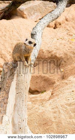 Meerkat observing its surrounding