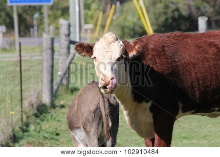 Cow - Hereford