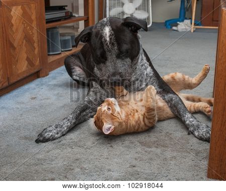 Mixed breed Pitbull and Tabby kitten are pals. poster