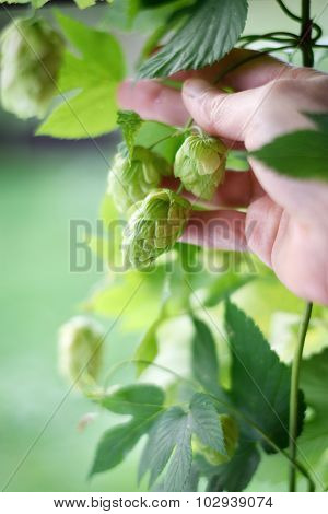 Hop Flowers Cones And Hand.