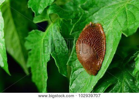Spanish slug (Arion vulgaris) invasion in garden. Invasive slug Spanish slug on tomatoe leaf. Garden problem. Europe. poster