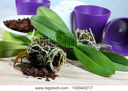 Orchid Replanting