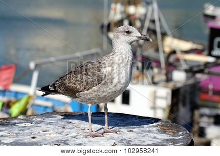 Juvenile European herring gull