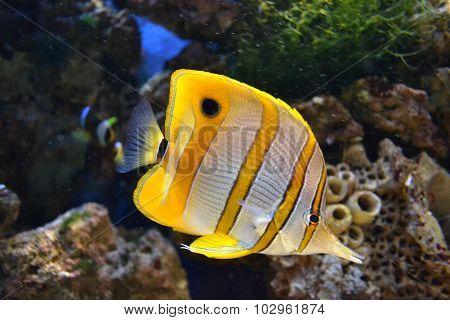 Sea butterflyfish