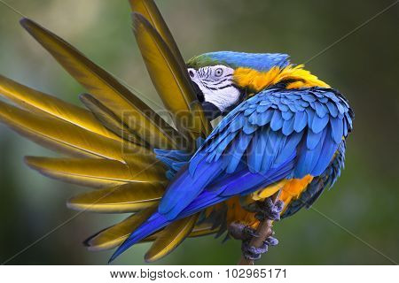 Portrait of blue-and-yellow macaw (Ara ararauna)