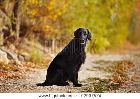 Retriever Sitting On The Background Of Autumn Leaves