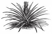 Pineapple, ananassa sativa or ananas comosus old vintage engraving. Full pineapple plant with stems, in vector, engraved illustration. poster