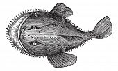The American anglerfish, Goosefish, All-mouth, Fishing frog or Lophius americanus. Vintage engraving. Old engraved illustration of an American anglerfish found in the eastern coast of North America. poster