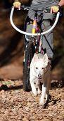 Sports with a dog. Bikejoring. Norwegian metis poster