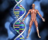 Colourful DNA strands on abstract background with a 3D male medical figure with muscle map poster