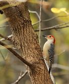 Red-bellied woodpecker Melanerpes carolinus perched on the side of a tree poster