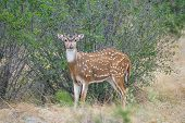 South Texas axis buck standing. This buck is just beginning his antler growth. poster
