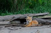 Baby red fox or kit outside of the den poster