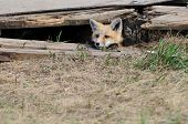 Baby red fox kit peeking outside of the den poster