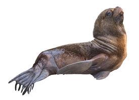 Sea Lion Male Cutout